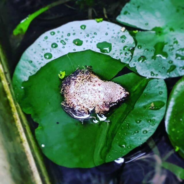 我が家の #ひっくりカエル#flog #garden #カエル #面白い #ペット#pet #petstagram