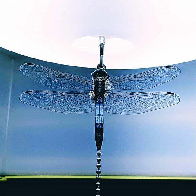 家の中に、いきなり #シオカラトンボ が飛び込んで来ました!#dragonfly